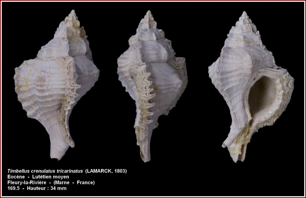 timbellus_crenulatus tricarinatus_fleury.jpg