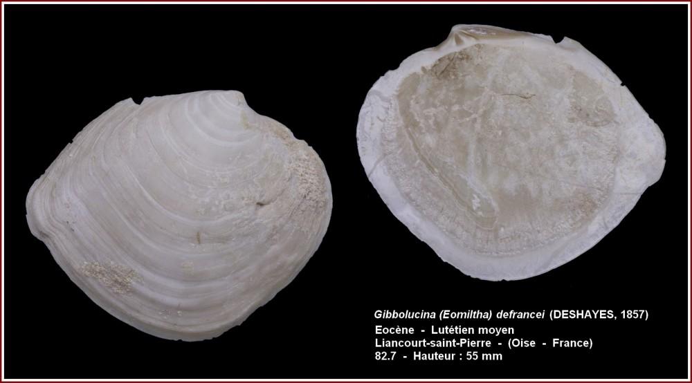 gibbolucina defrancei_oise.jpg