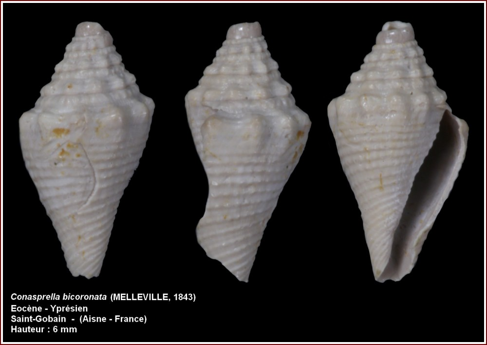 conasprella_bicornatus.jpg