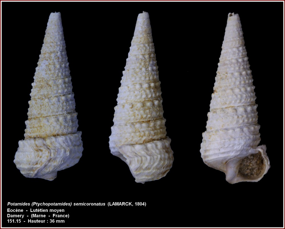 pl_potamides_semicoronatus_damery.jpg