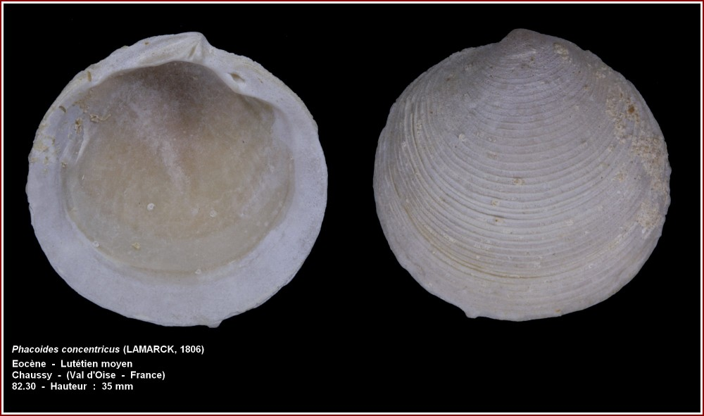 pl_phacoides_concentricus_chaussy.jpg