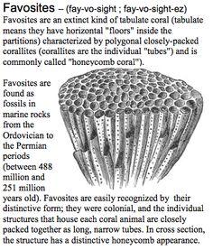 018a0afa76b8c3e0af1e628f9960c51f--fossilized-coral-vertebrates-1.jpg.1198e7101252ba8940ebcb5d5f6adcf6.jpg