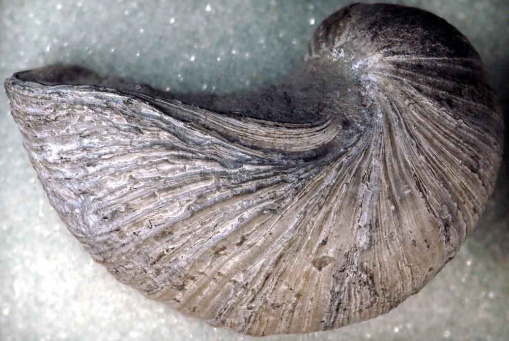 Gryphaea_arcuata_fossil_oyster_(Blue_Lias,_Lower_Jurassic;_coastal_cliffs_near_Lyme_Regis,_far-western_Dorset_County,_southwestern_England)_1_(15206675956).jpg