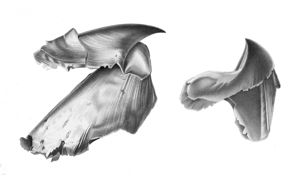Architeuthis_beak.jpg