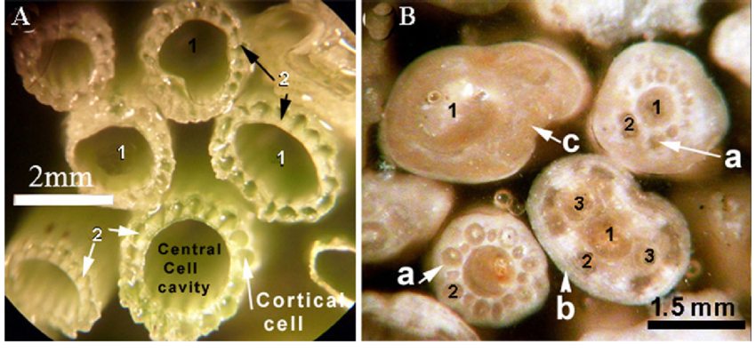 a-Cross-section-of-living-Chara-stems-b-Polished-slab-of-the-epoxy-embedded-lime-sand.png