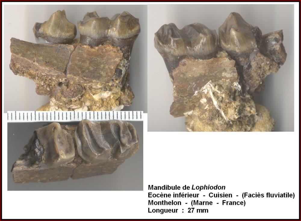 lophiodon_sur_mandibule.jpg