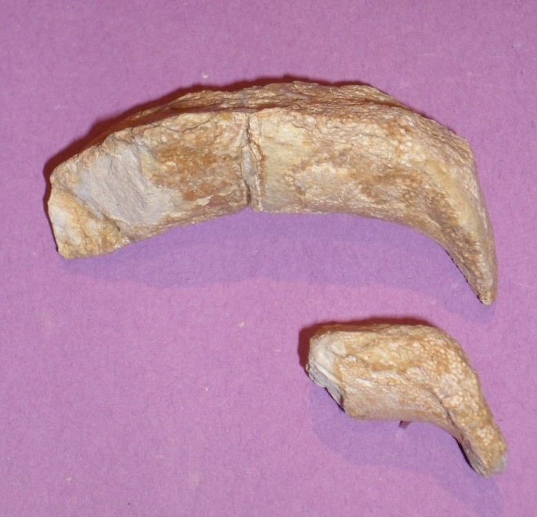 raie boussens  (palatocarré) - Copie.jpg