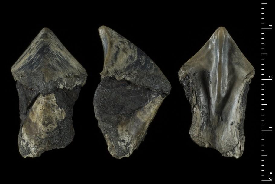Rhyncolites guanensis -MNHNcompr.jpg