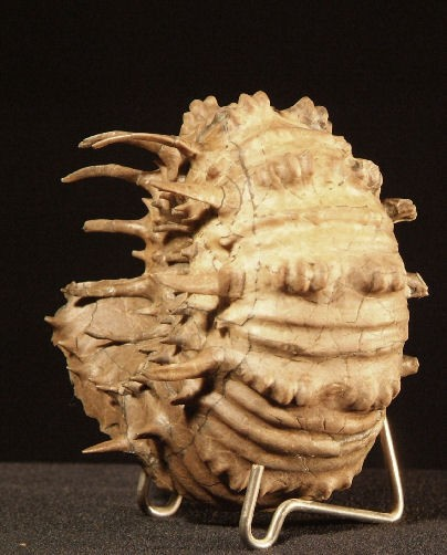 ammonite-douvilleiceras-inaequinodum-2.jpg