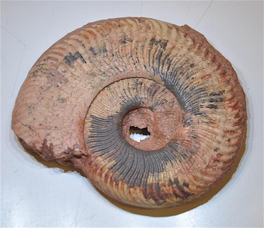 Ammonite 4 Toarcien Belmont.JPG
