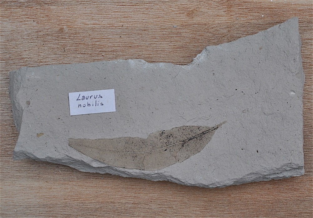 Laurus nobilis 1 Aquitanien Armissan Aude.JPG