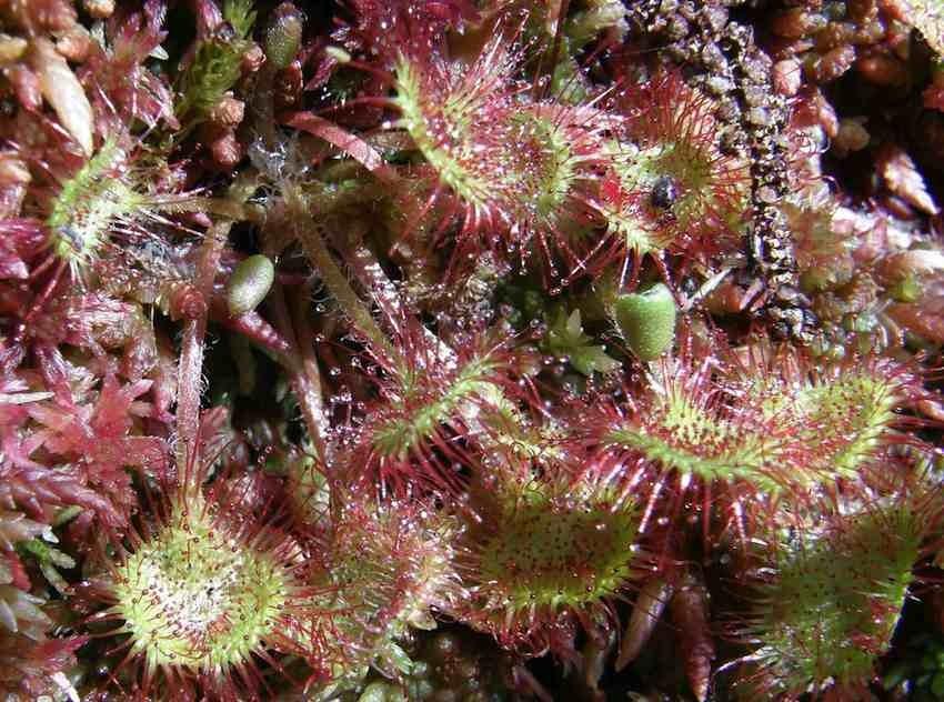 Drosera à feuilles rondes - Drosera rotundifolia.jpg