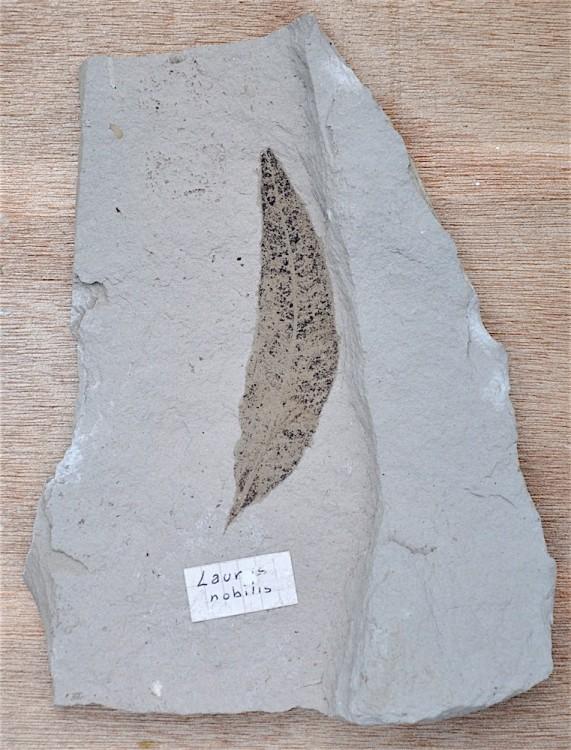 Laurus nobilis 2 - Aquitanien Armissan Aude.JPG