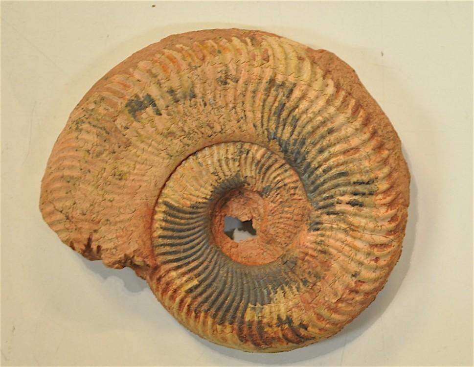 Ammonite 3 Toarcien Belmont.JPG