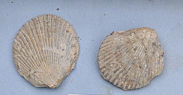 Spondilus spinosus Santonien Bugarach.png