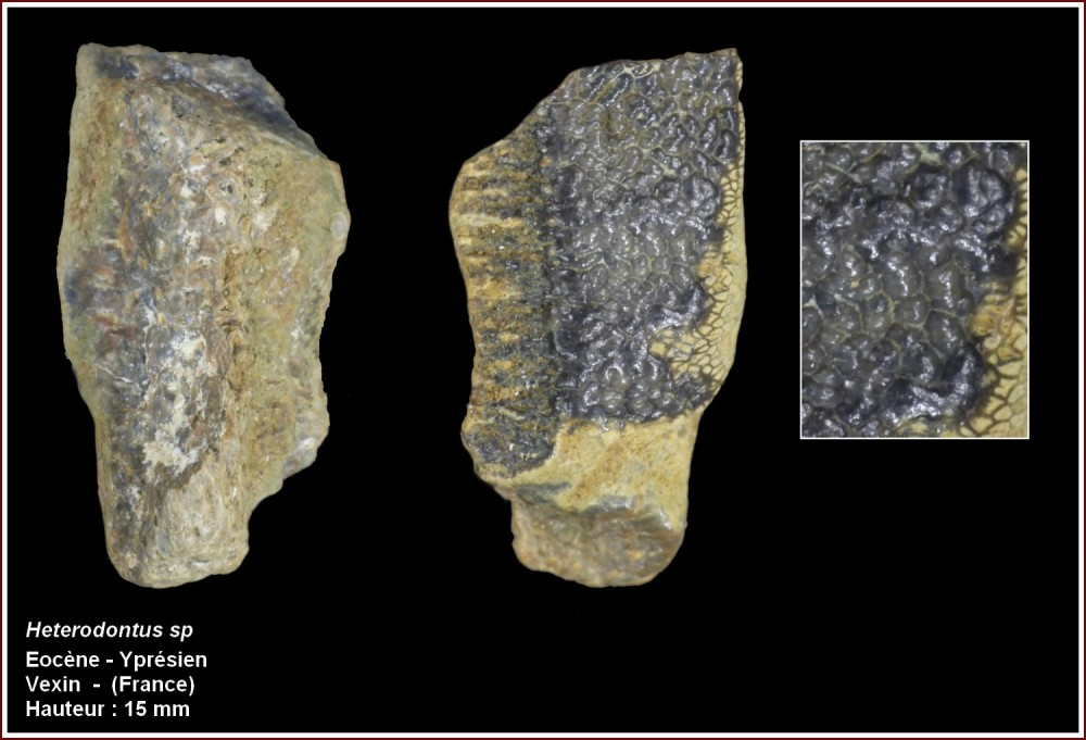 pl_heterodontus.jpg