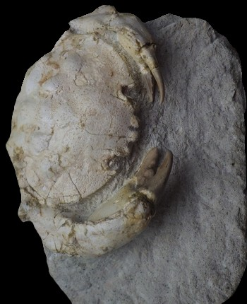 Zanthopsis dufouri 7.jpg