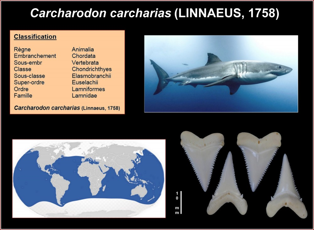 pl_carcharodon_carcharias_actuel.jpg