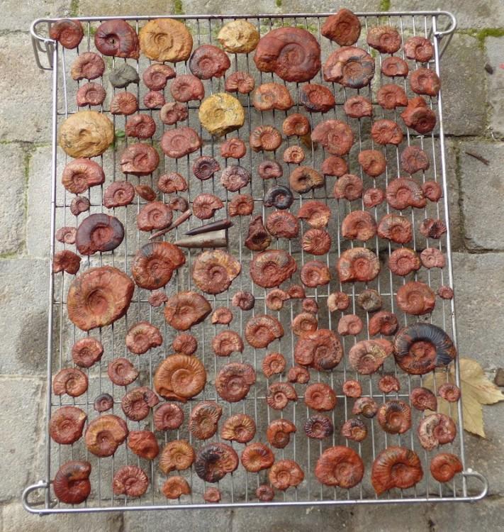 Ammonites de Belmont.JPG