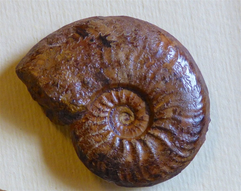 Pleydellia bifax.JPG