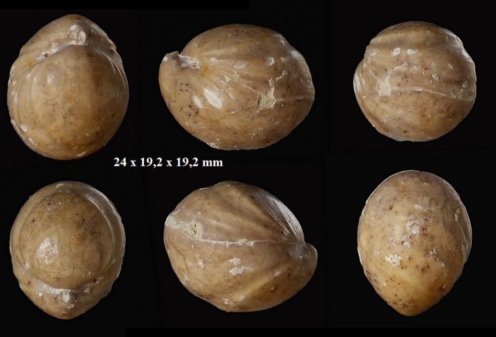 1332017118_Sphaeroidothyrisglobisphaeroidalis(Buckman1914).zoneParkinsonidestehonotine14(4).thumb.jpg.2bf208931cdc42b0f65d54ecf64355ff.jpg