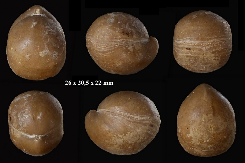 1590474699_Sphaeroidothyrisglobisphaeroidalis(Buckman1914).zoneParkinsonidestehonotine14(8).thumb.jpg.5bc944ab7fb8fb65861b91ed6de01b00.jpg