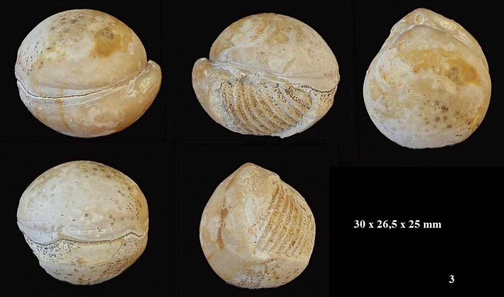 1785755853_sphaeroidothyris-globisphaeroidalis(1).thumb.jpg.580e1047fee09adc650ddff9c63c7fce.jpg
