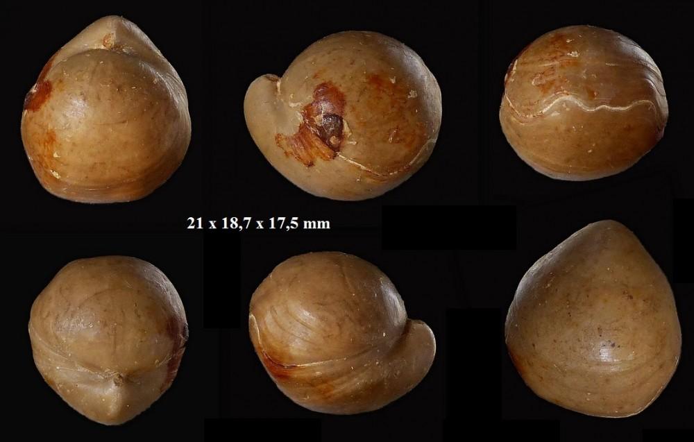 1869342620_Sphaeroidothyrisglobisphaeroidalis(Buckman1914).zoneParkinsonidestehonotine14(7).thumb.jpg.33b9a430c3618cccf3ad3ddb51329735.jpg