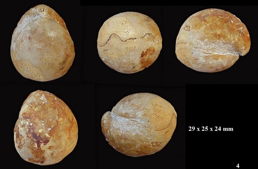 336099634_Sphaeroidothyrisglobisphaeroidalis(Buckman1914).zoneniortensecls14.thumb.jpg.1fe138ac070afac3b44269666e42c3df.jpg