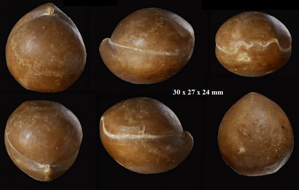 654635049_Sphaeroidothyrisglobisphaeroidalis(Buckman1914).zoneParkinsonidestehonotine14(5).thumb.jpg.6e15a1911ece24f485206fb2d79360f6.jpg
