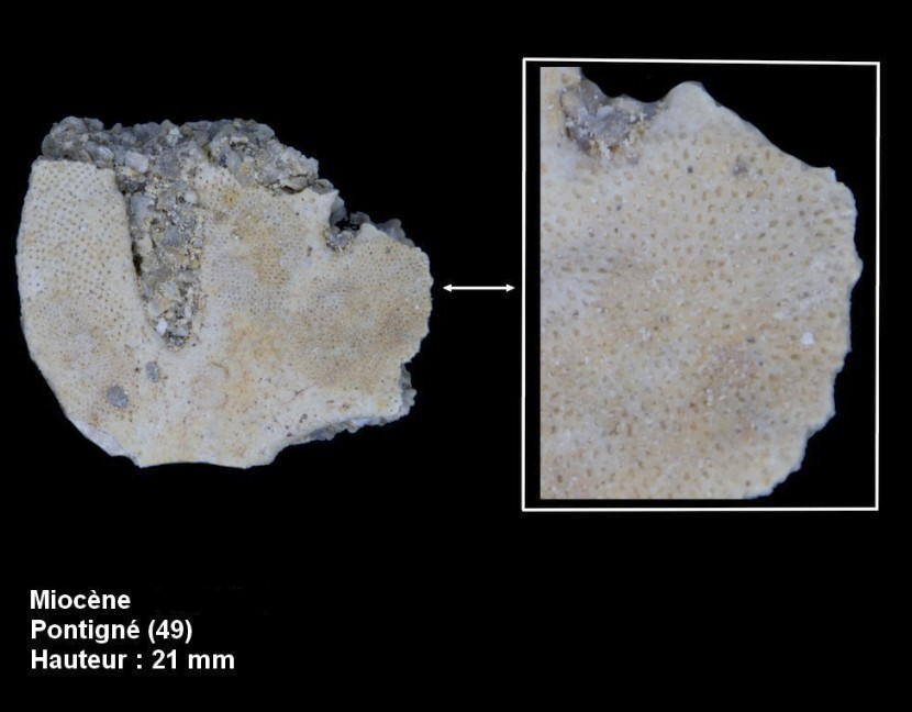 bryozoaires_miocene5.jpg
