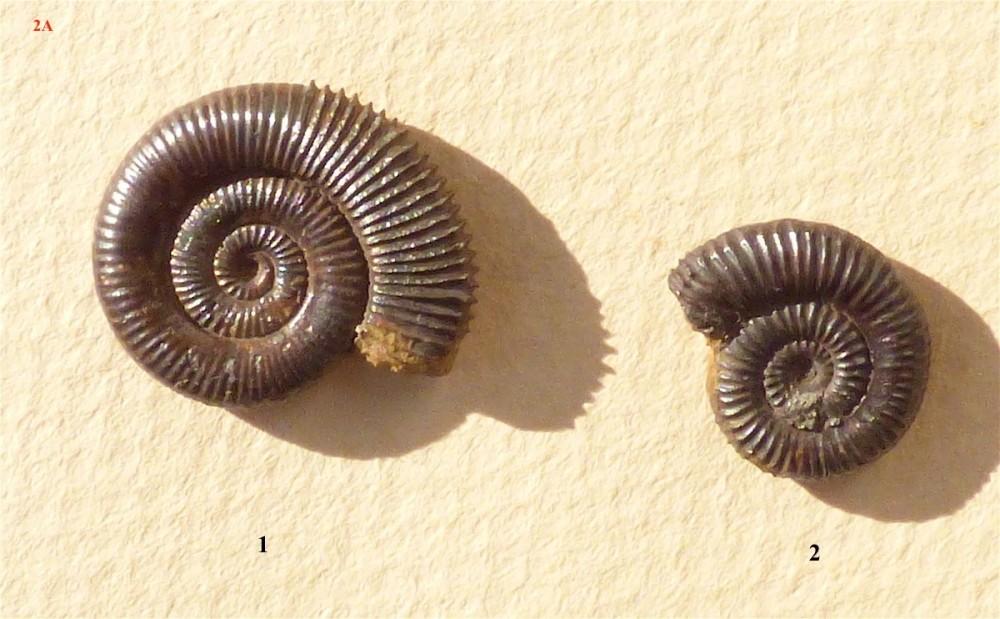 Zugodactylites 2.JPG