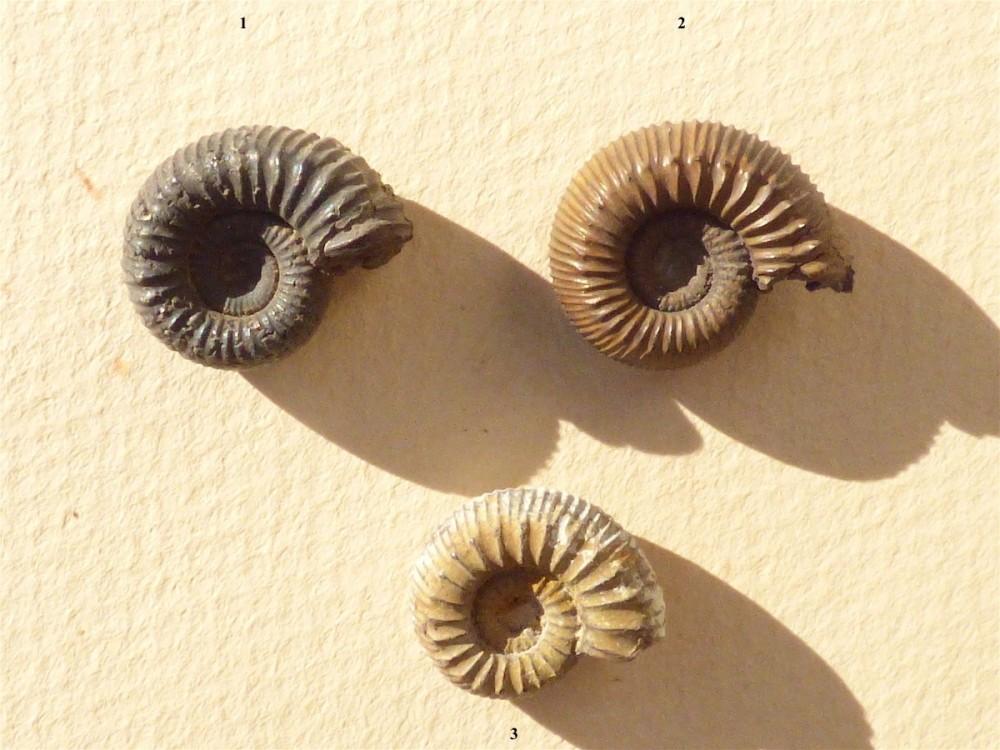 Catacoeloceras confectum 1a.JPG