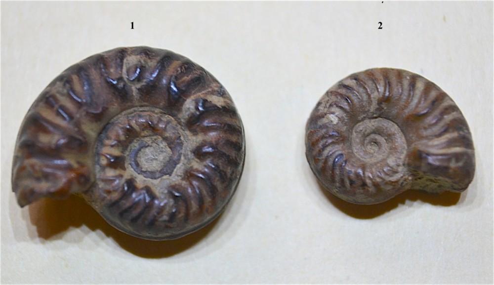 Haugia ou Denckmania 1.JPG