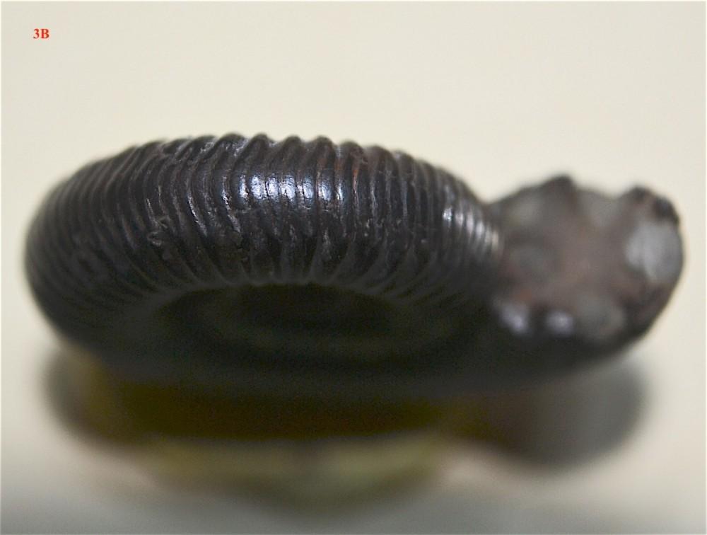 Zugodactylites ou Dactylioceras 2.JPG