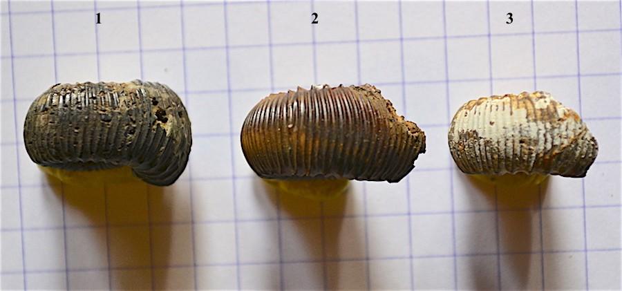 Catacoeloceras confectum 1B.JPG