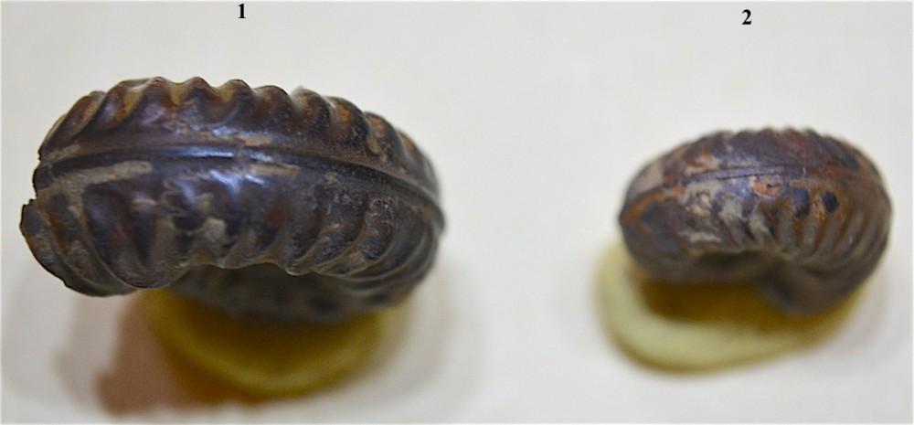 Haugia ou Denckmania 2.JPG