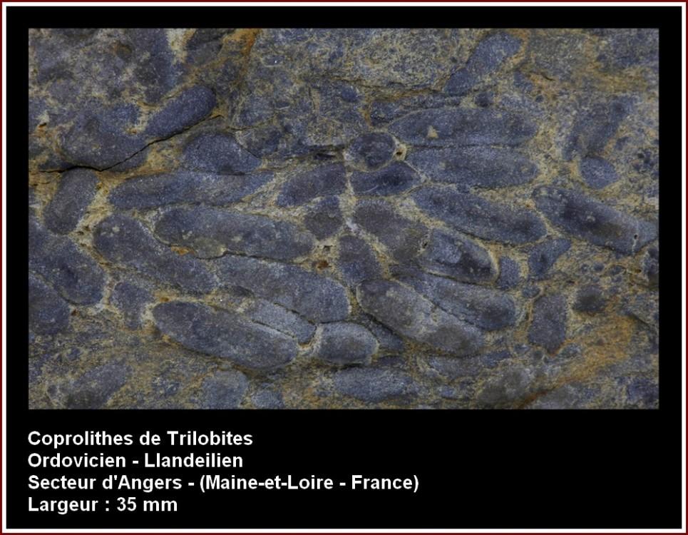 pl_coprolithes_trilobites.jpg