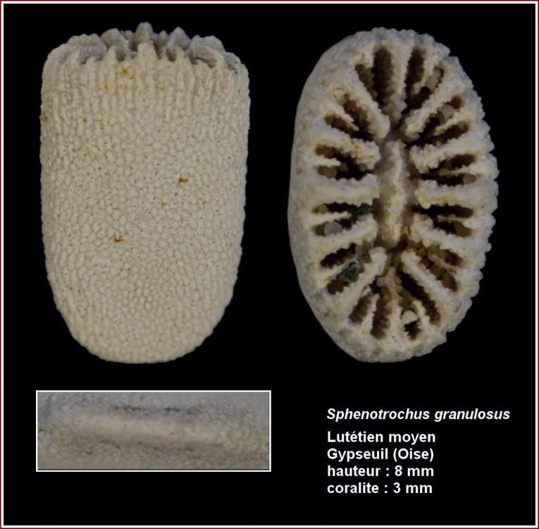pl_sphenotrohus_granulosus_gypseuil.jpg