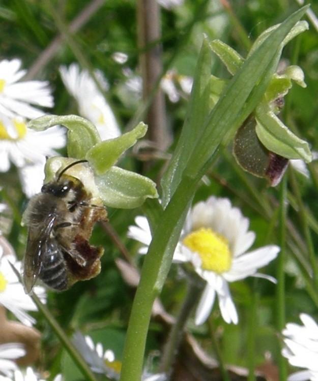 Ophrys aranifera et Hyménoptère 1.jpg
