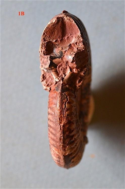 Hammatoceras speciosum 1b.JPG