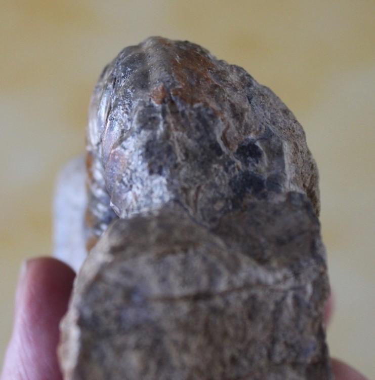 asteroceras 2.JPG