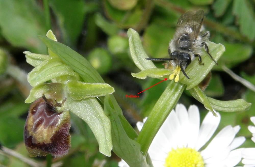 Hyménoptère avec les pollinies de l'Ophrys collées .jpg