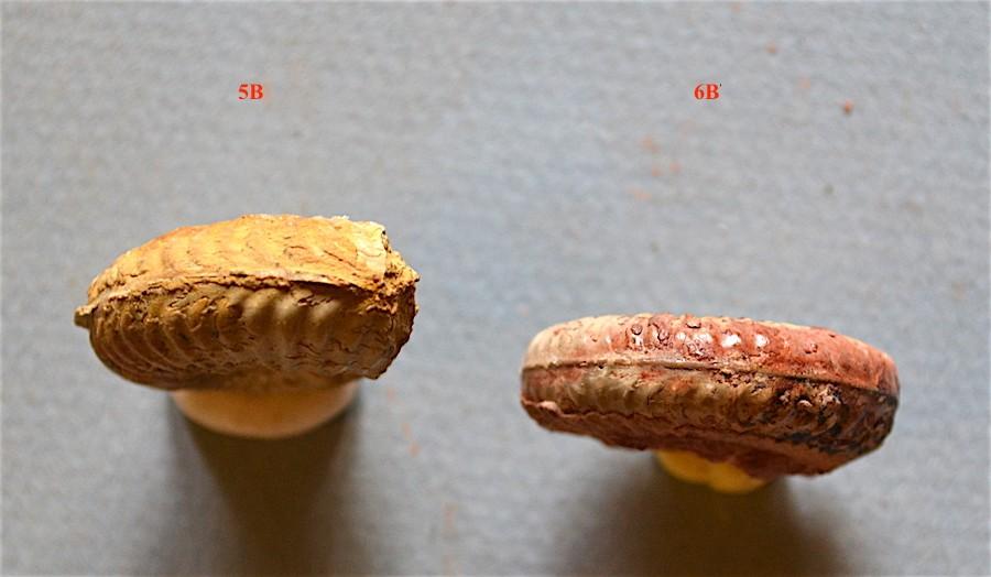 Hammatoceras pachu 5b.JPG
