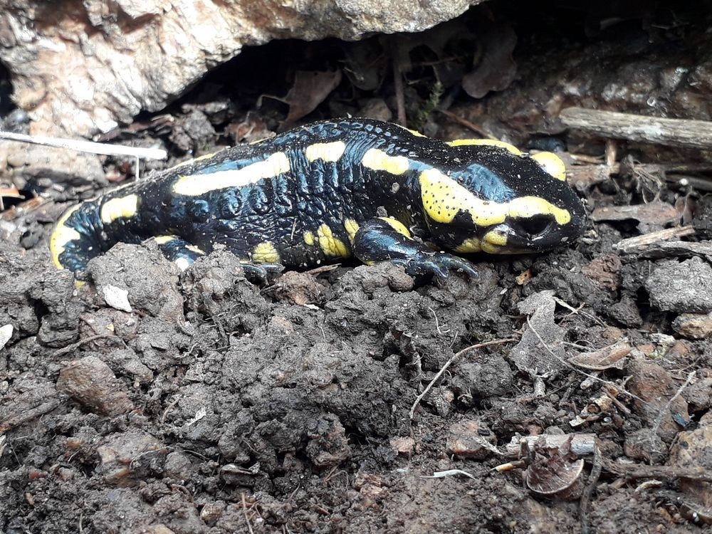 salamandre 2.jpg