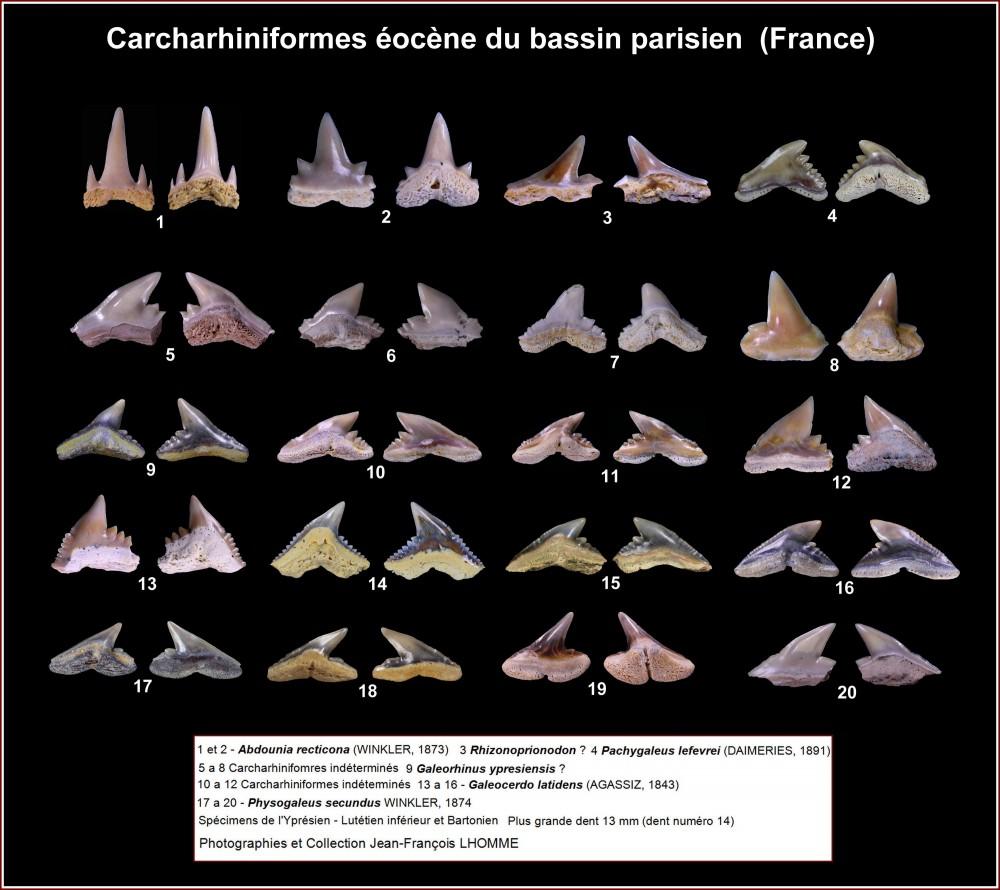 pl_carcharhiniformes_eocene_bp2.jpg