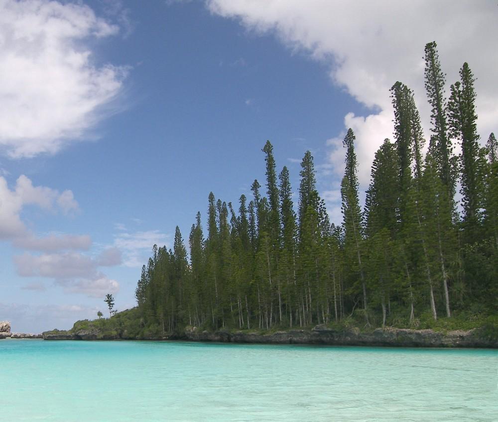 Araucaria_columnaris_New_Caledonia_1.jpg