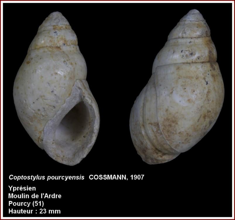 coptostylus.jpg