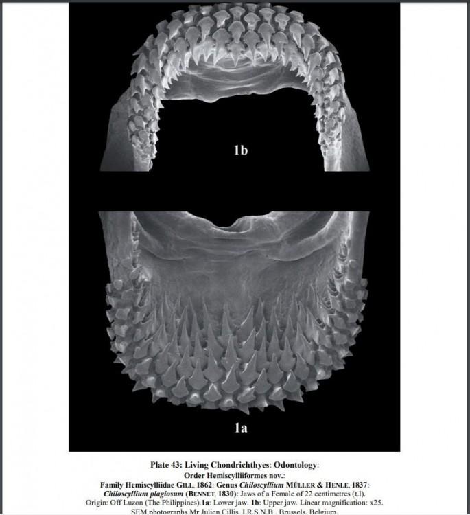 hemiscylliidae.thumb.JPG.a057aac63c318abaa0ddefee43b1f1e3.JPG