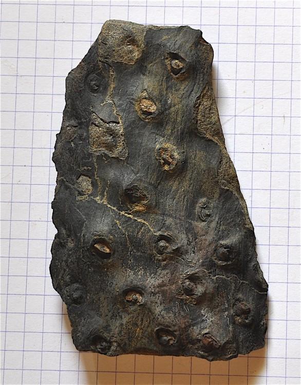 Stigmaria ficoides - copie.JPG